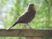 野生英国鸟在森林里 免版税库存图片