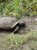 野生草龟 库存图片