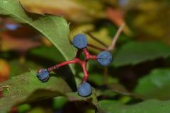 野生莓果在秋天 免版税库存图片