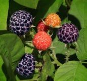 野生莓果 图库摄影