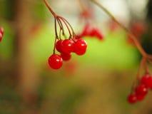 野生莓果 免版税库存图片