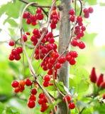 野生莓果 免版税图库摄影
