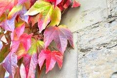 野生葡萄植物 免版税图库摄影