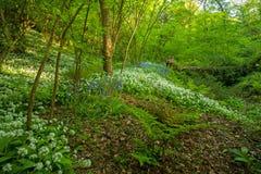 野生蒜和会开蓝色钟形花的草地毯在森林里 免版税库存照片