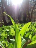 野生蒜在阳光下 免版税图库摄影