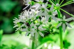 野生蒜,熊大蒜葱属与昆虫的ursinum花 免版税库存照片