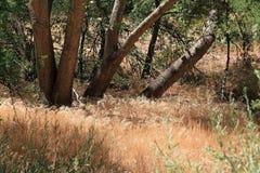 野生蒲苇在亚利桑那 图库摄影