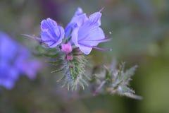 野生蓝色植物蛇蝎牛舌草或蓝蓟在夏天草甸 免版税库存图片