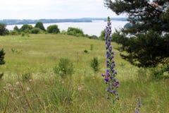 野生蓝色植物蛇蝎` s牛舌草或蓝蓟在夏天草甸 库存照片
