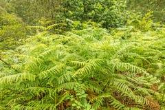 野生蕨植物在森林里 库存照片
