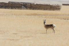 野生藏羚羊 免版税库存照片