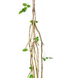 野生藤,与小绿色叶子藤的密林藤扭转了aro 免版税库存图片