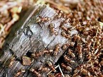 野生蚂蚁修造他们的蚁丘,被烧焦的木头大片断  免版税库存图片