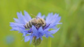 野生蜂特写镜头坐美丽的蓝色矢车菊 花由蜂授粉 E 股票录像