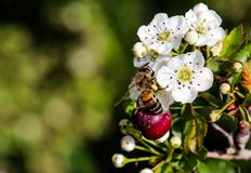 野生蜂蜜蜂在加德兹在阿富汗 免版税图库摄影