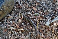 野生蜥蜴东部蓝舌头Tiliqua scincoides 免版税图库摄影