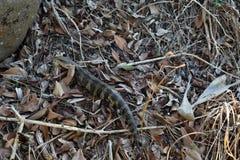 野生蜥蜴东部蓝舌头Tiliqua scincoides 免版税库存照片