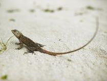 野生蜥蜴 免版税库存照片