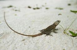 野生蜥蜴 免版税库存图片