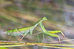 野生螳螂 库存图片