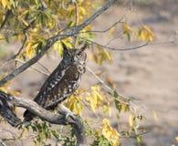 野生被察觉的老鹰猫头鹰& x28; 腹股沟淋巴肿块africanus& x29;栖息在树 图库摄影