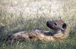 野生被察觉的鬣狗 库存图片