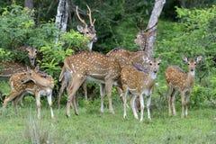 野生被察觉的鹿 图库摄影