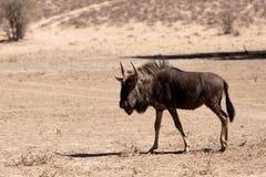 野生角马牛羚 库存图片