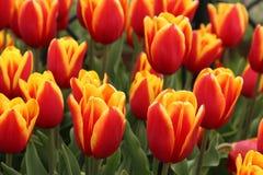 野生郁金香在红色和黄色树荫下 免版税库存照片