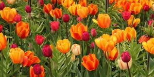 野生郁金香在红色和黄色树荫下 免版税库存图片