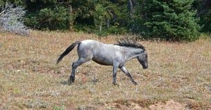 野生野生马-跑在普莱尔山野马范围的蓝色软羊皮的一岁母马在蒙大拿美国 免版税图库摄影