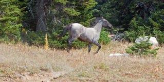 野生野生马-跑在普莱尔山野马范围的蓝色软羊皮的一岁母马在蒙大拿美国 库存照片
