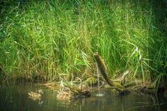 野生野鸭鸭子在湖芦苇在背景中漂浮 图库摄影
