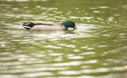 野生野鸭鸭子 免版税库存图片