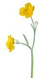 野生金毛茛大花和芽 库存图片