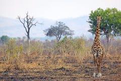 野生长颈鹿 免版税库存图片