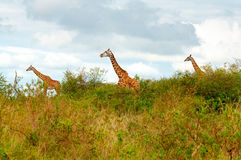 野生长颈鹿 库存图片