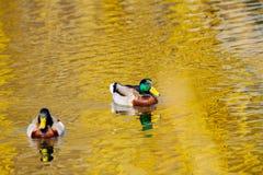野生雄鸭在池塘游泳的动物 库存照片