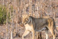野生雌狮偷偷靠近的牺牲者在南非 免版税图库摄影