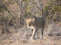 野生雌狮偷偷靠近的牺牲者在南非 库存照片