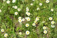野生雏菊在草甸 库存照片