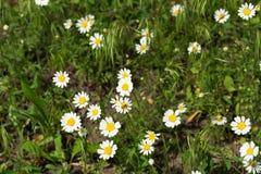 野生雏菊在草甸 免版税库存照片