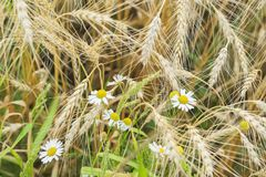 野生雏菊特写镜头在一个领域的在一个农场在一个晴朗的夏日,与谷物耳朵一起 农村背景 库存照片