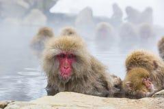 野生雪猴子表情:凝视 免版税库存照片