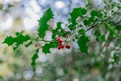 野生霍莉在树增长 免版税库存照片