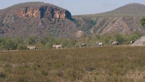 野生非洲斑马在旱季的平原吃草在储备 股票录像