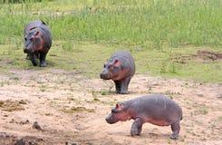 野生非洲河马 免版税库存照片