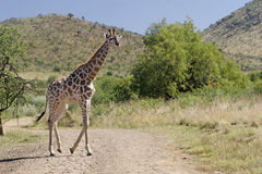 野生非洲长颈鹿 图库摄影