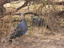野生非洲鸟秃鹰似guineafowl (Acryllium vulturinum)  免版税库存照片