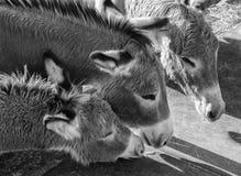 野生驮货驴子,Oatman,亚利桑那 免版税库存照片